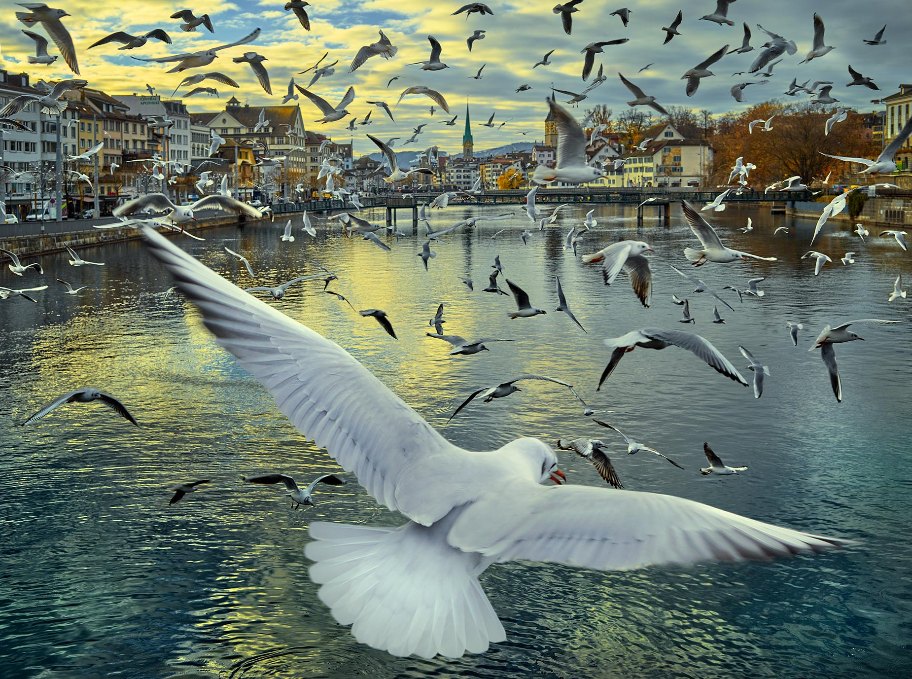 Zurich_seagulls_yellow
